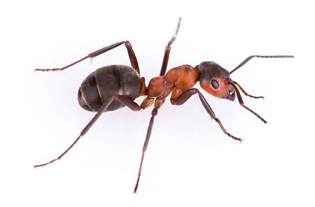 Insect Control Services in Houston, TX | Animal Control Wildlife - ant