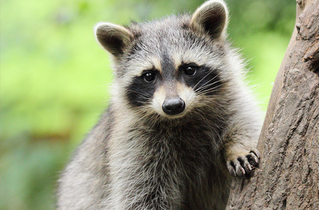 Wildlife Removal Services in the Metro Houston Area | Animal Control Wildlife - raccoon